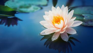 Lotus çiçeği ve bakımı