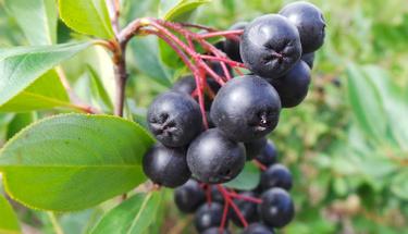Yılda 3 kere meyve veren bitki mucize yaratıyor!