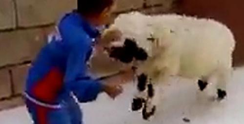 Küçük çocukla kuzunun kavgası izleyenleri güldürdü!
