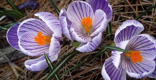 Mor çiğdem çiçeğinin ilham verici hikayesi