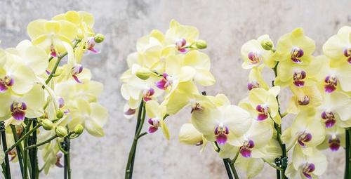 Orkide bakımı nasıl olmalıdır?