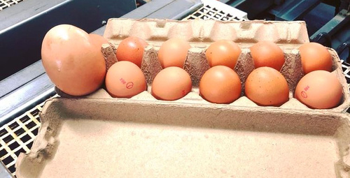 Devasa tavuk yumurtasının içinden çıkan şoke etti