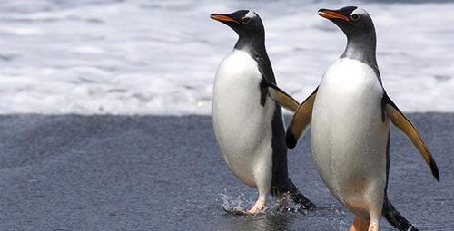 Eşcinsel penguenlerin yaptıklarına da bakın hele!