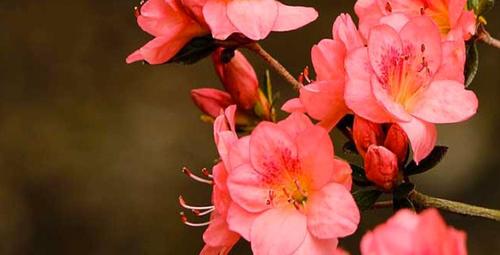 Kışın yapraklarını dökmeyen çiçek: Açelya