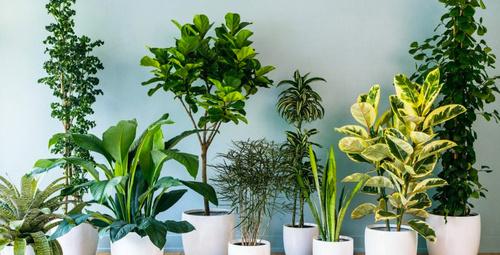Bu bitkiler evinize şans ve huzur getirecek!