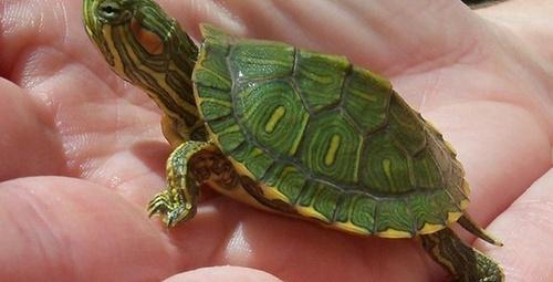 Evde su kaplumbağası bakımı nasıl yapılır?