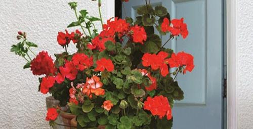 Bu çiçekler evinize şans getirecek!