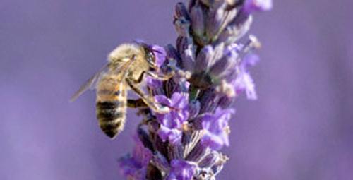 Arı zehri kanserli hücreleri öldürüyor!