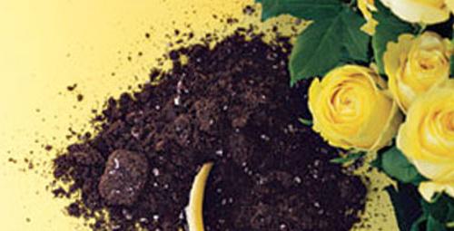 Mükemmel kokan güller için ne yapmalı?