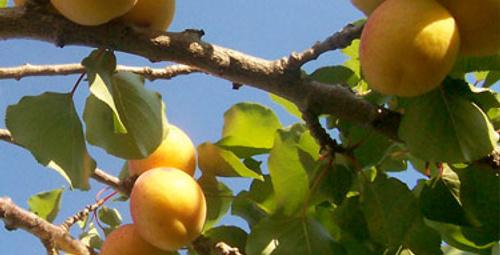 Türkiye'nin ilk akredite meyvesi: Kayısı!