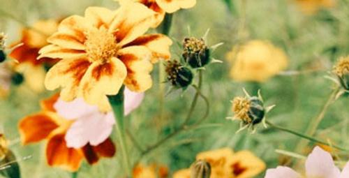 Çiçekleri öldüren böceklerden nasıl kurtulmalı?
