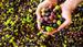 Zeytinin faydaları demir ihtiyacının yüzde 55'ini karşılıyor!
