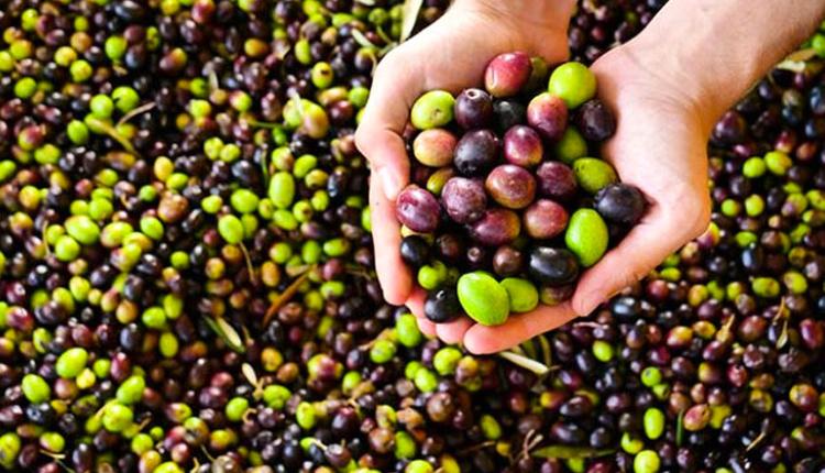 Zeytinin faydaları birçok hastalığa iyi geliyor!