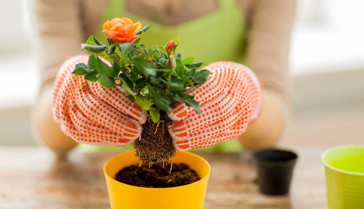 Saksı toprağı nasıl hazırlanır? Çiçeğin vitamin kazanması için bahçe toprağı kullanmayın!