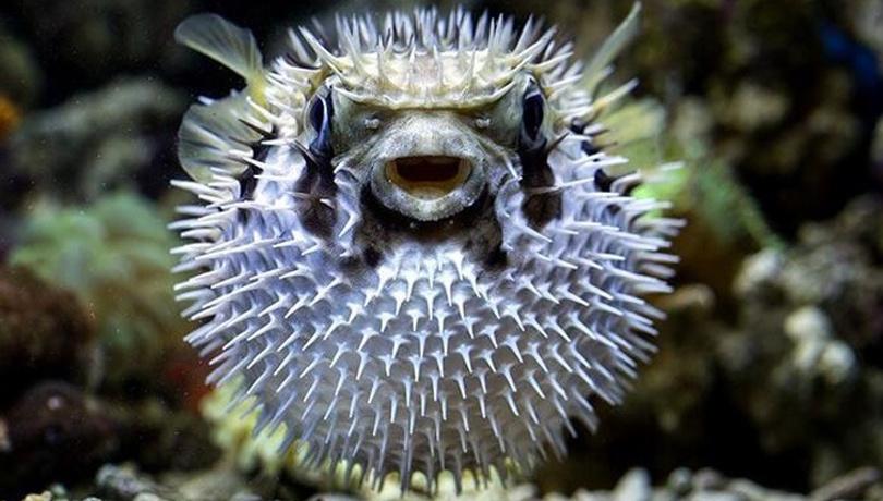 Bu balık siyanürden 50 kat daha zehirli! Aman dikkat!